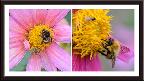 dahlia with bees