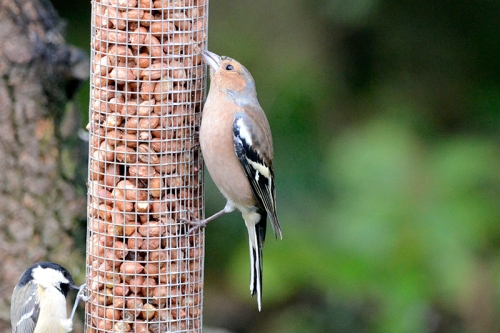 one legged chaffinch