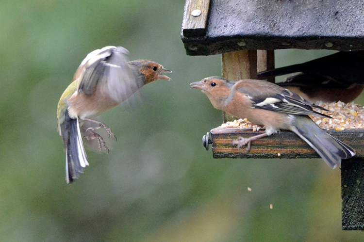 squabbling chaffinches