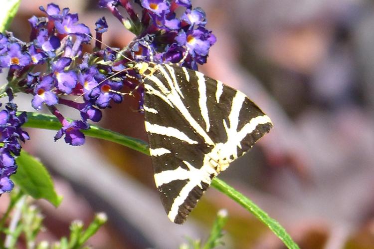 Jersey tiger moth Greys Court