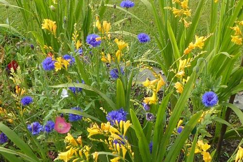 cornflower and crocosmia