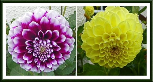north berwick dahlias