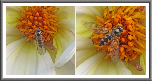 A hoverfly in Mike and Alison's garden