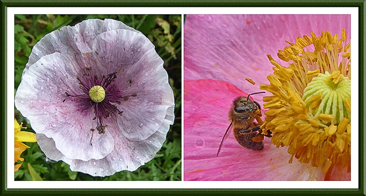 poppies with bee
