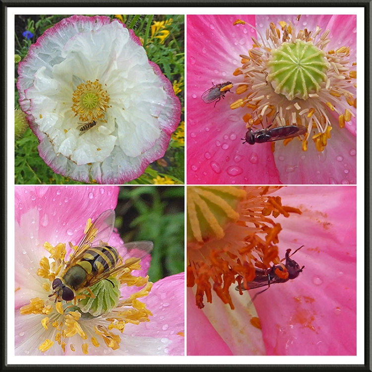 poppies with hoverflies and flies