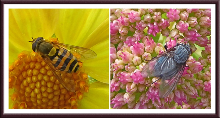 sedum and dahlia with flies
