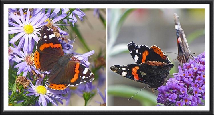red admiral butterflies