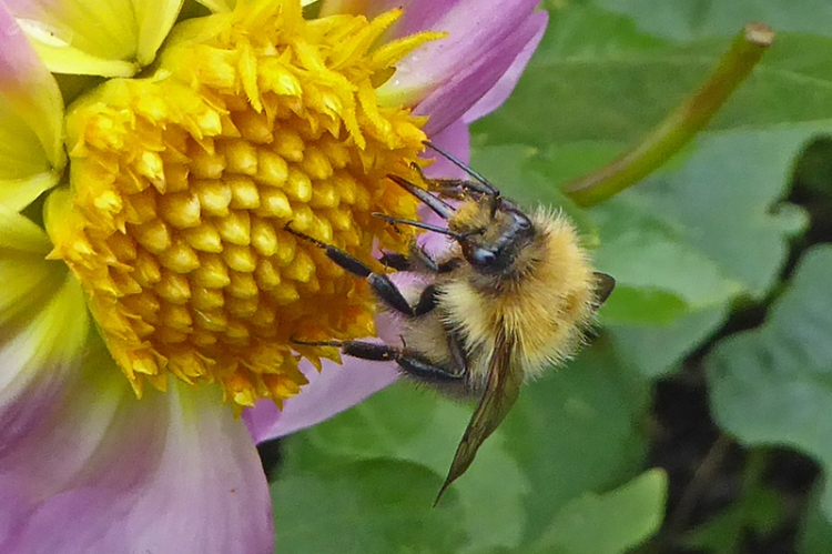 carder bumble bee