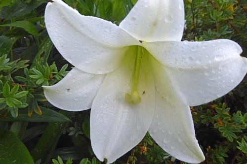lily longiformum