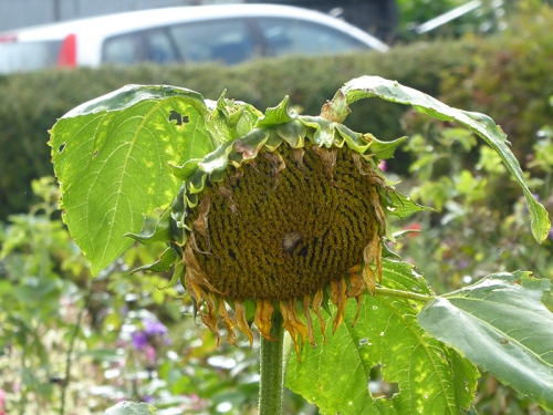 soggy sunflower
