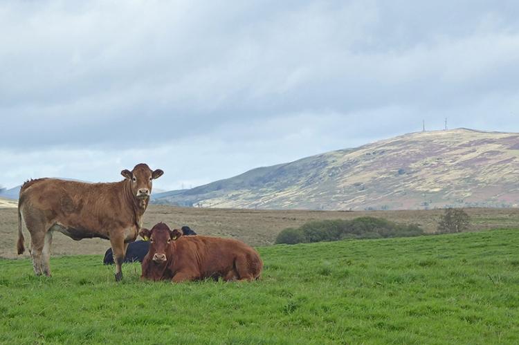 tarcoon cows