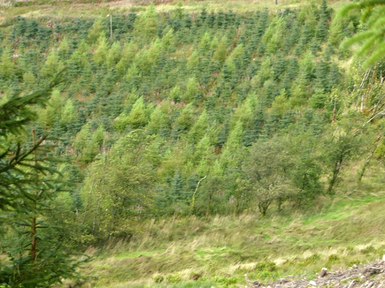 callister plantation