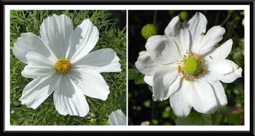 Cosmos and Japanese anemone