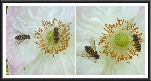 poppies with hoverflies