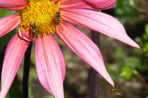 dahlia with hoverflies