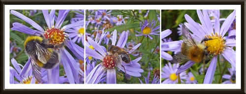 bees on the Michaelmas daisies