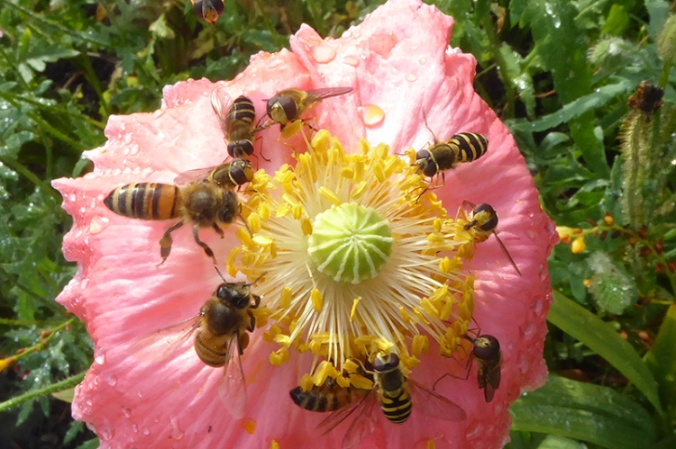 poppy with hoverflies and bees