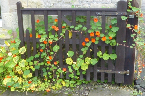 nasturtiums on front gate