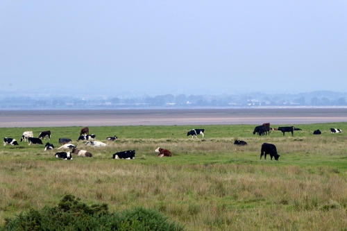 marsh cattle