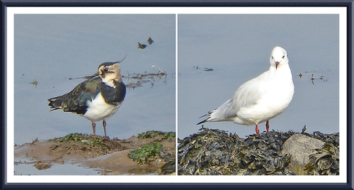 lapwing and gull
