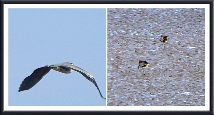 curlews and heron