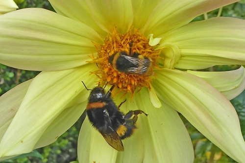 bumble bees on dahlia