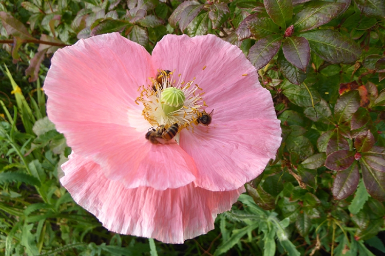 poppy with bees