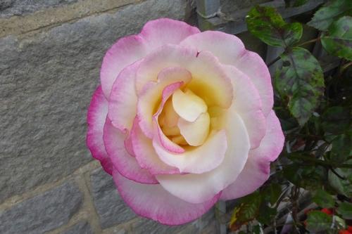 Liz's rose