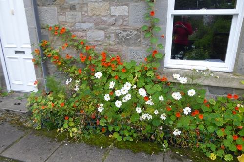 nasturtiums and cosmos