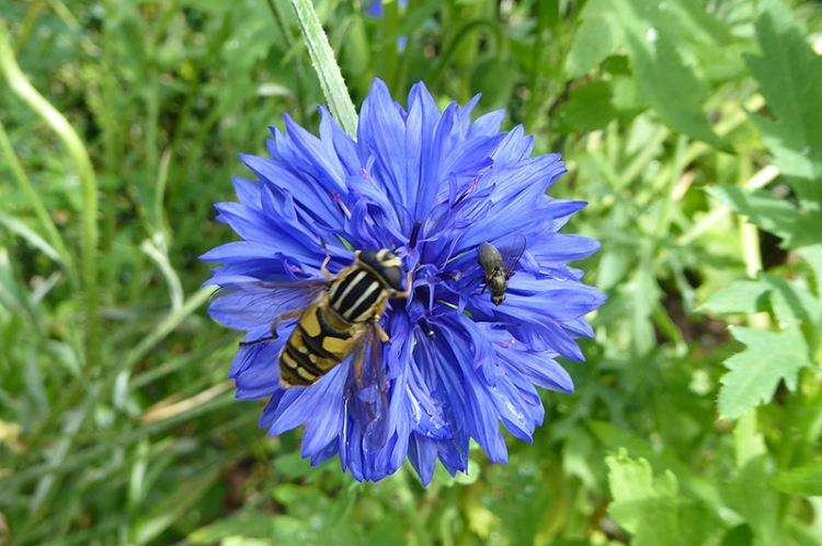 cornflower with hoverfly