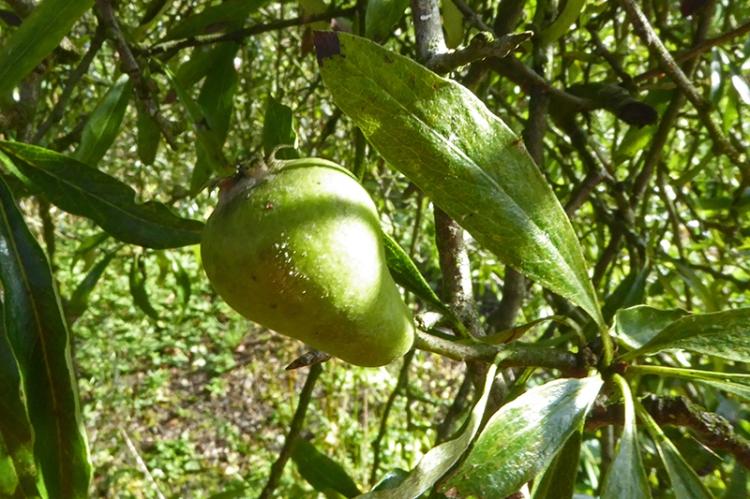 silver pear