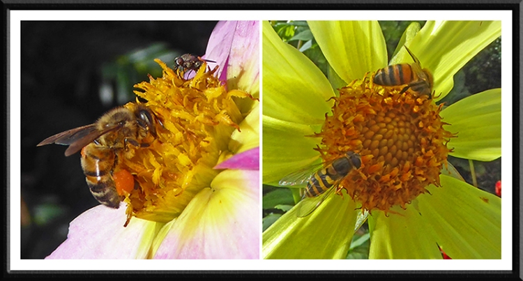 insects on dahlias