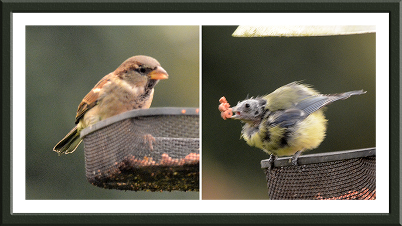 sparrow and blue tit