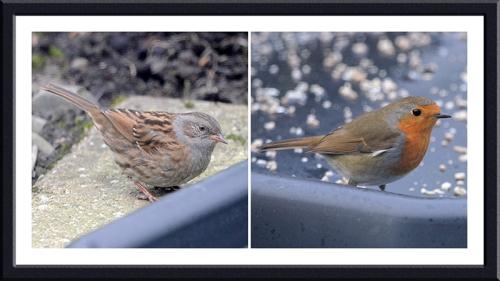 dunnock and robin