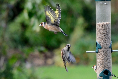 goldfinch and sparrow flying