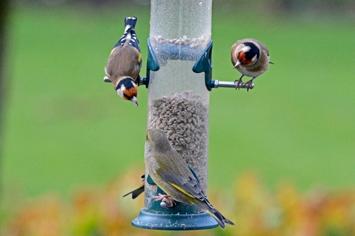 goldfinch and greenfinch