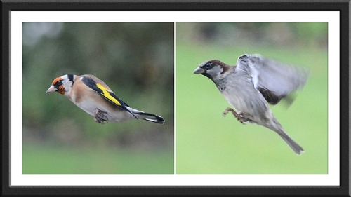 flying goldfinch and sparrow
