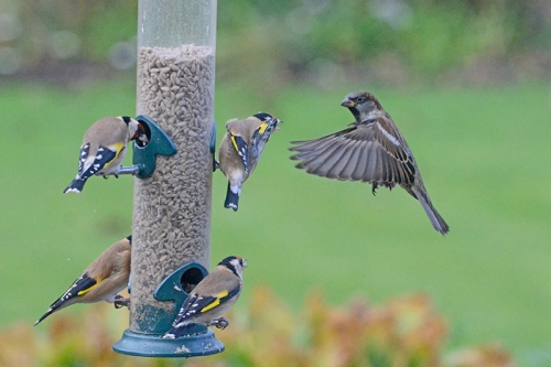 sparrow and goldfinches