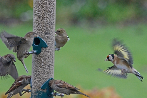 goldfinch and sparrows