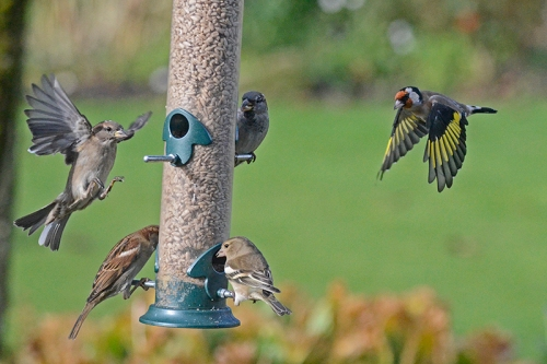 goldfinch, sparrow and chaffinch