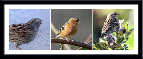dunnock, chaffinch and sparrow