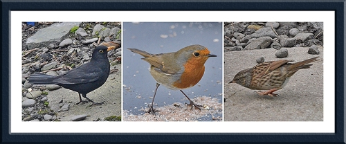 blackbird, robin and dunnock