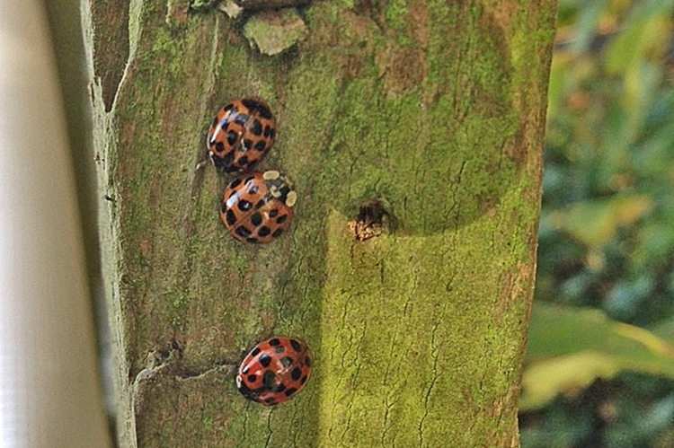 harlequin ladybirds