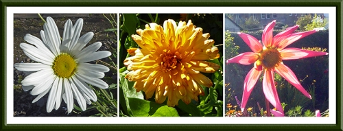 daisy, calendula and dahlia