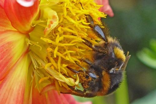 búmble bee