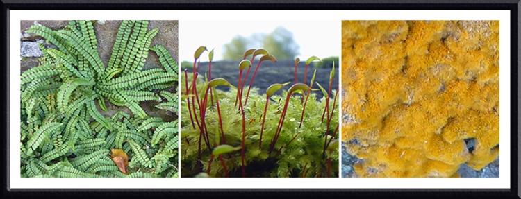 spleenwort, moss and algae