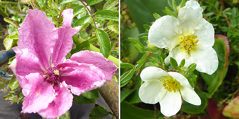 clematis and potentilla