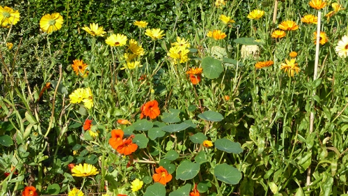 nasturtiums and calendula