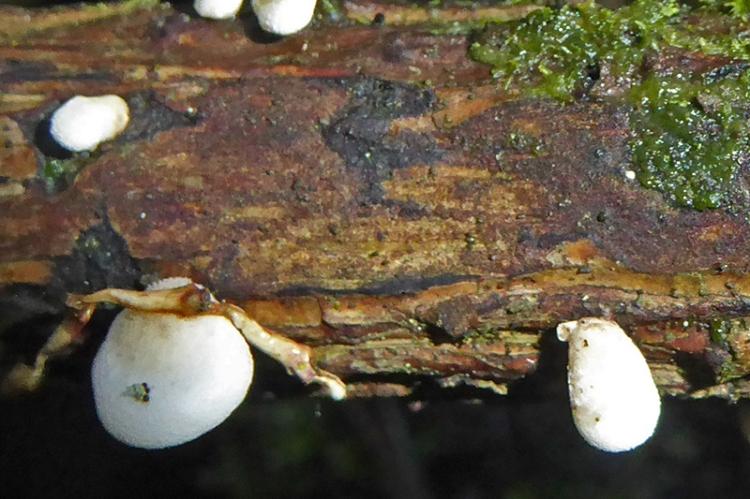 Becks fungi