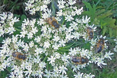 umbellifer with bees